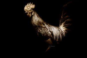 ayam jago terbaik